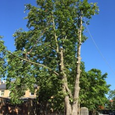 A large horse chestnut dismantle and fell at a school in North London.