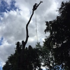 A large tree of heaven dismantle and fell over housing.